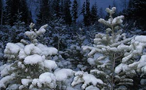 Winter-Evergreens